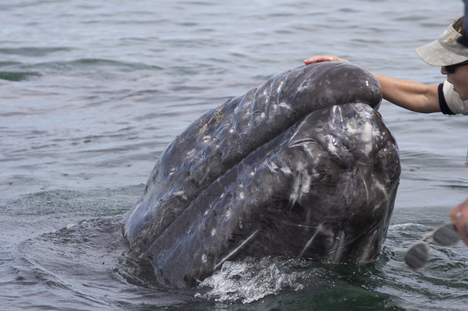 Friendly Gray Whales