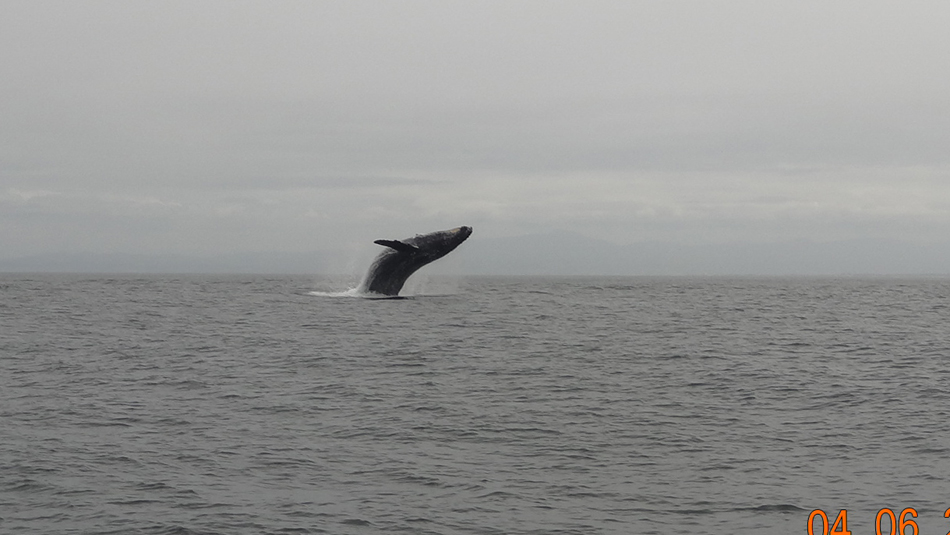 Breaching humpback taken by Sanctuary passenger Terri Fox on 04-06-2013.