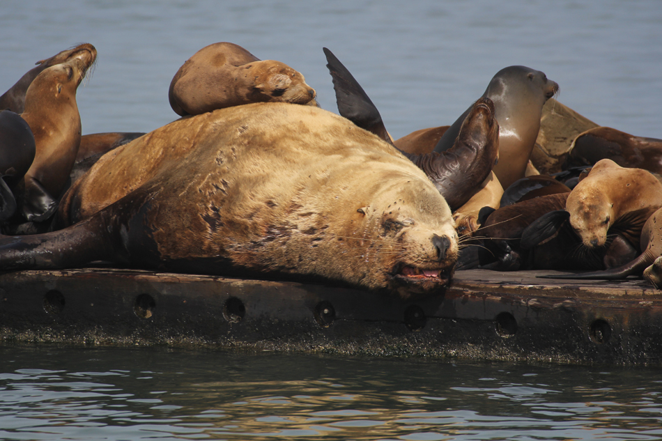 A massive Steller Sea Lion hanging out in the Moss Landing Harbor with a young California Sea Lion posting up on his back. Photo: Sack, 04-12-2013