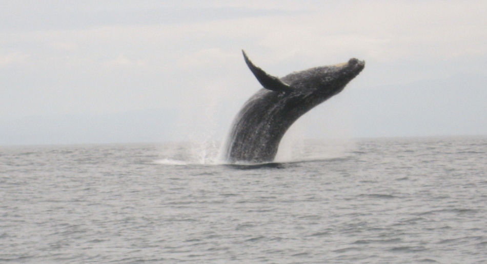 Breaching humpback whale photographed by Sanctuary passenger Darlene Fong. 04-06-2013.