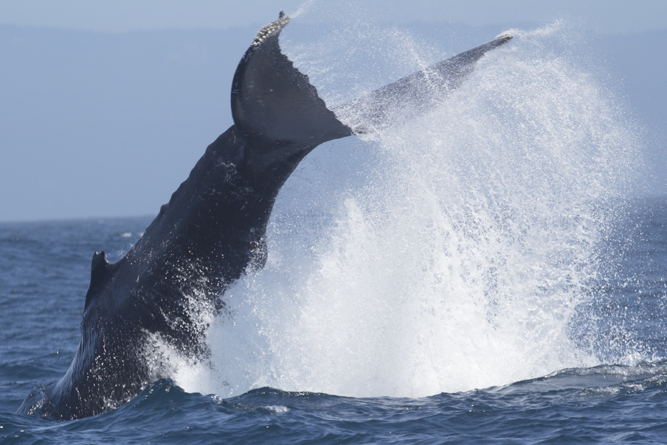 A humpback whale throws a massive tail lob. Photo: Welch, 04-29-2013