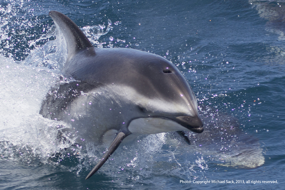 More lively Pacific White-sided dolphin action. Photo: Sack, 05-18-2013.