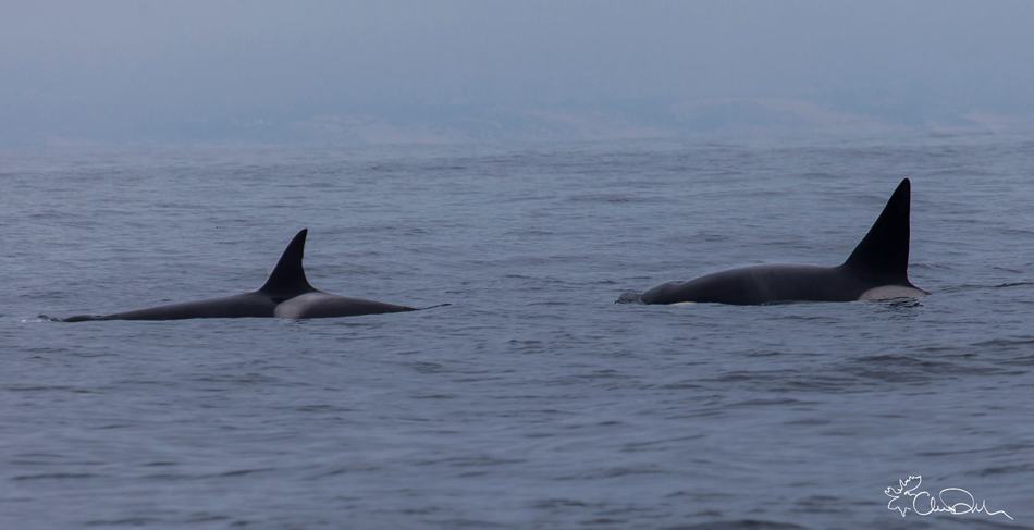 Mother and son orca on the hunt just outside of Moss Landing. Photo: Dekker, 06-23-2013