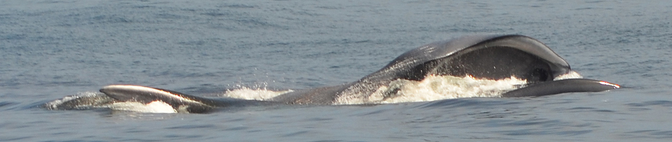 Surface Lunge feeding blue whale just outside of Moss Landing. Photo: Thomae, 06-16-2013.