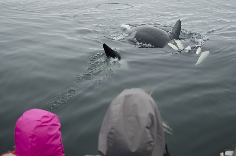 Orcas frolick next to the boat as passengers watch in amazement. Photo: Giancarlo Thomae, 06-25-2013.