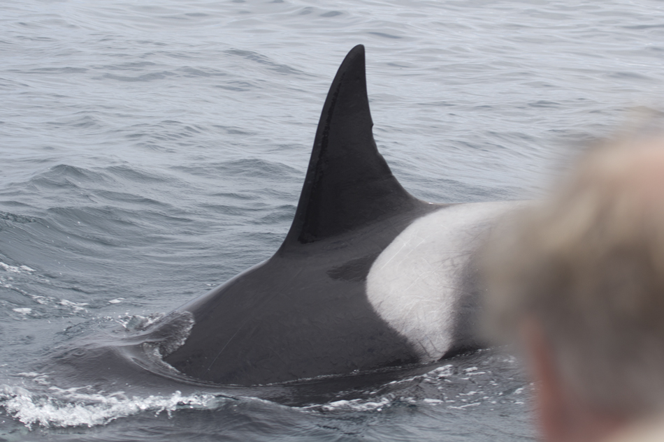 Another drive-by orca checks us out. Photo: Sack, 06-10-2013.