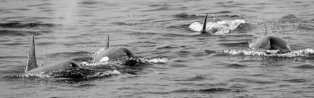 Orcas coming toward the boat. Photo: Jon McCormack, 06-10-2013.