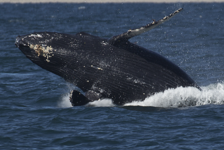 Monterey Bay Breach Humpback whale