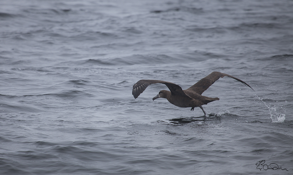 Monterey-Bay-Black-footed-albatross