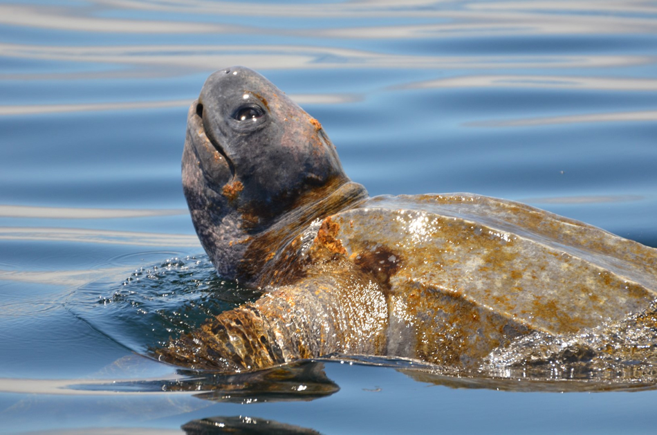 A leatherback turtle cruises along side our boat as it forages for sea nettle jellies. Photo: Eric Mailander, 07-16-2013.
