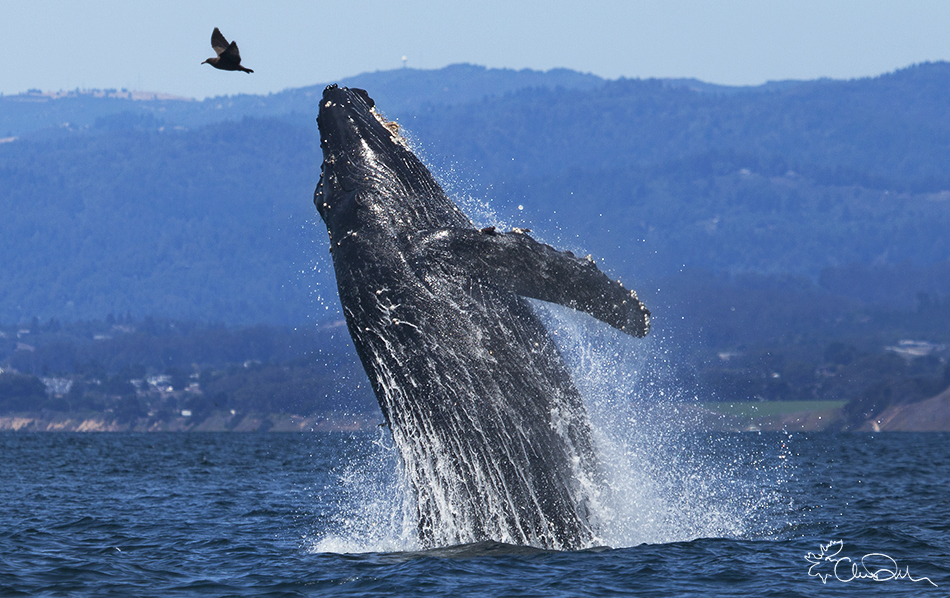 Breaching Humpback at Moss Landing Photo by Chase Dekker