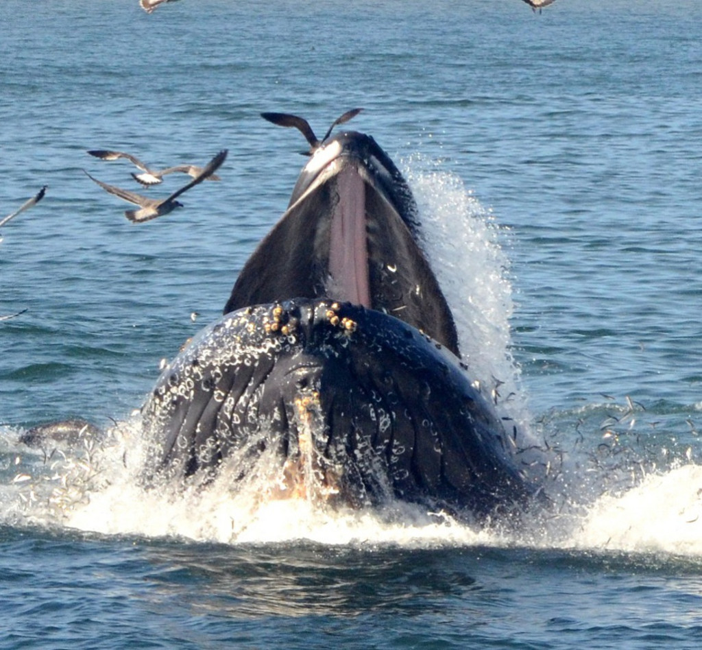 Surface lunge-feeding Humpback near Moss Landing