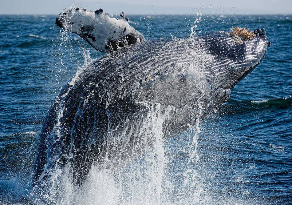 Moss Landing Humpback Whale Breach
