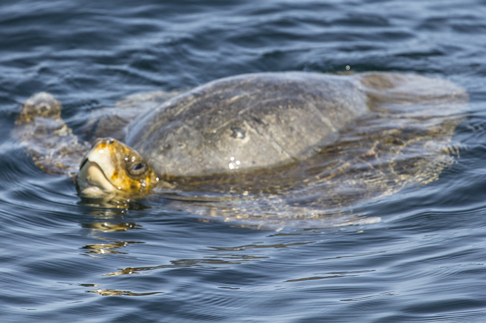 Moss Landing Ridley Turtle