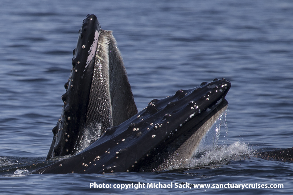 Monterey Bay Lunge Feeding Humpback Whales