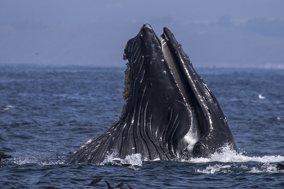Moss Landing Lunge-feeding Humpback Whale
