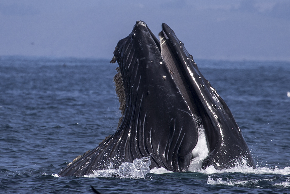 Lunge-feeding Moss Landing Humpback Whales