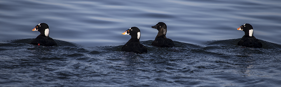Moss Landing Surf Scoters