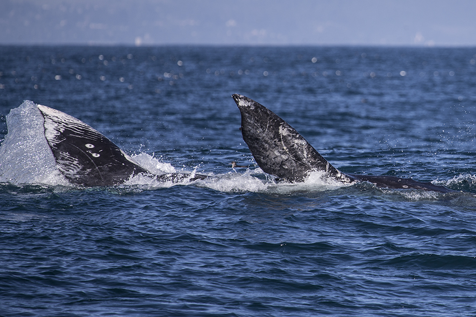 Moss Landing Gray Whales
