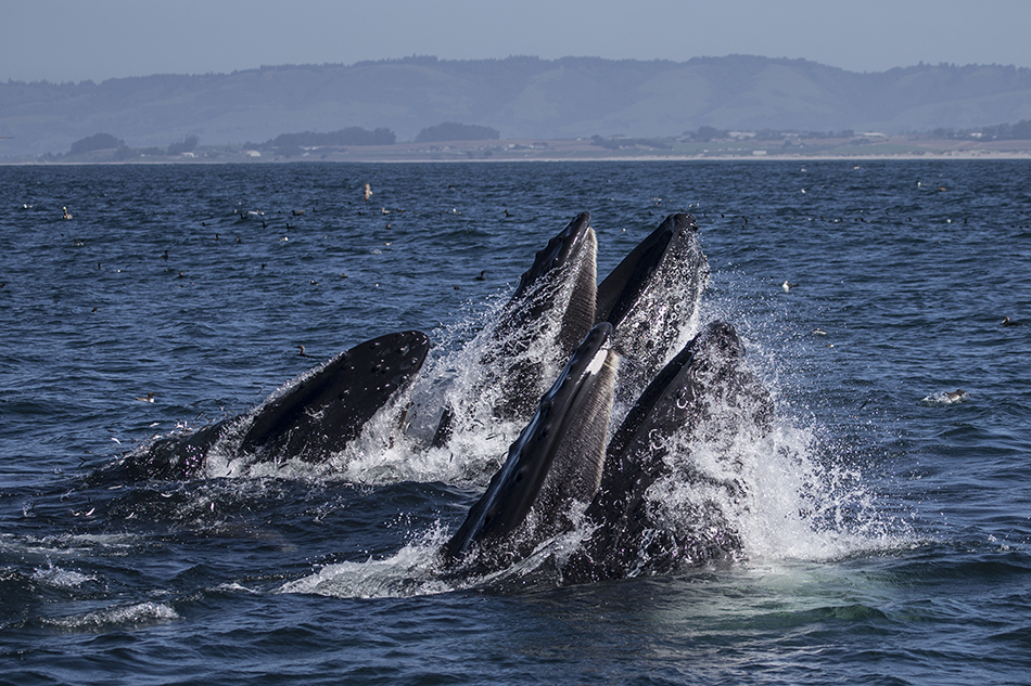 Moss Landing Lunge-feeding Humpback whales