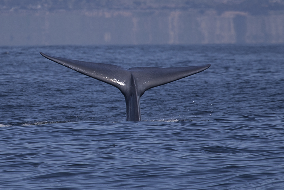 Blue Whale Just Outside of Moss Landing