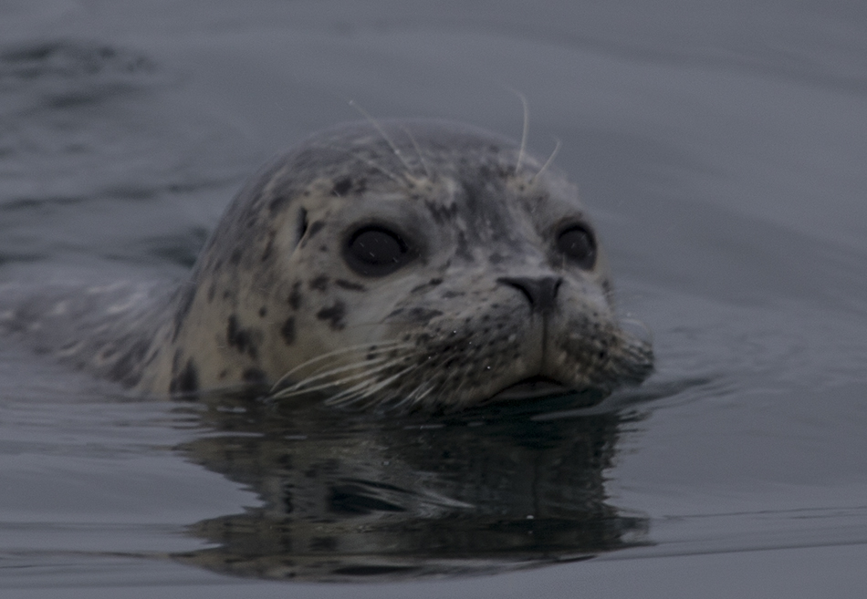 Moss Landing Harbor Seal