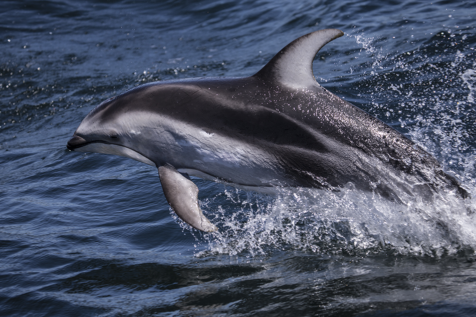 Moss Landing Pacific White-sided Dolphin
