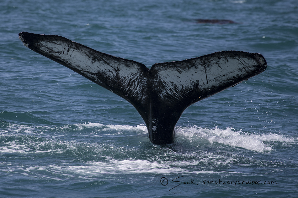Moss Landing Humpback Whale Tail