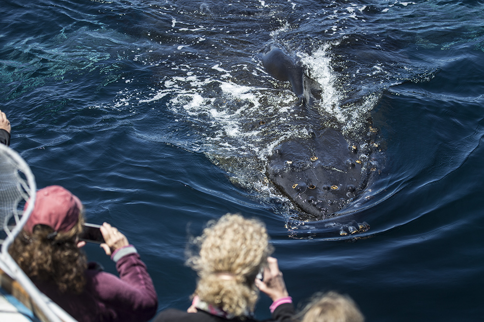 This is the friendly that kept going back and forth under the boat. At one point, we could see the tail on one side of the boat and it's head on the other side of the boat. Photo: Michael Sack, sanctuarycruises.com 07-06-2015.