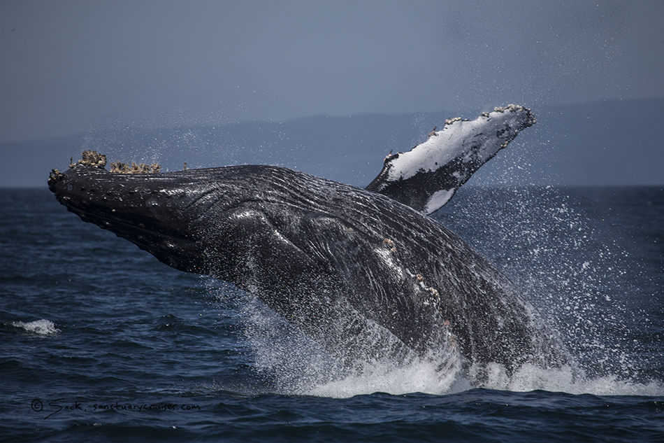 Moss Landing Humpback whale breaches. Photo: Michael Sack, 09-09-2015.