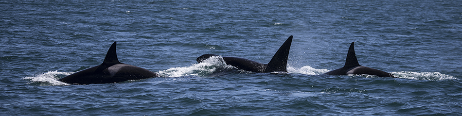 Monterey Bay Killer Whales
