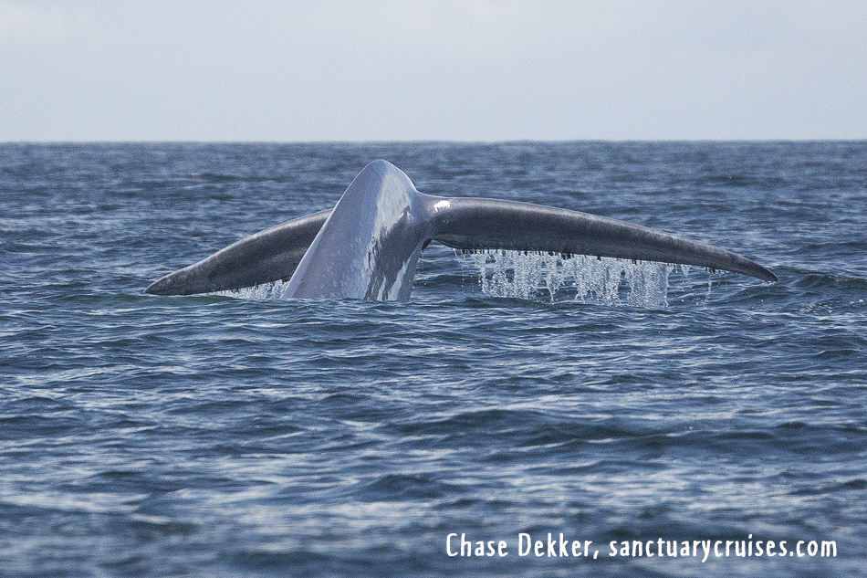 Monterey Bay Blue Whale