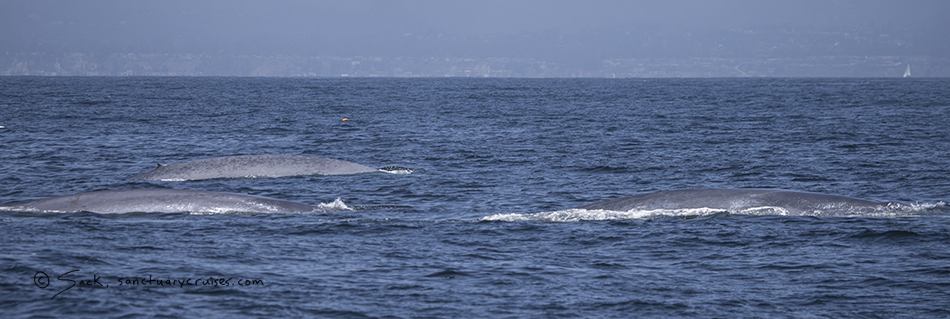 Monterey Bay Big Blue Whales