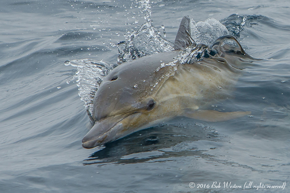Monterey Bay Common Dolphin Calf