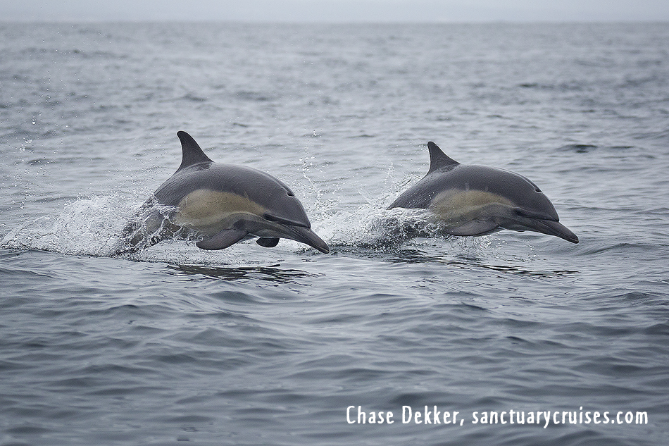 Moss Landing Common Dolphins