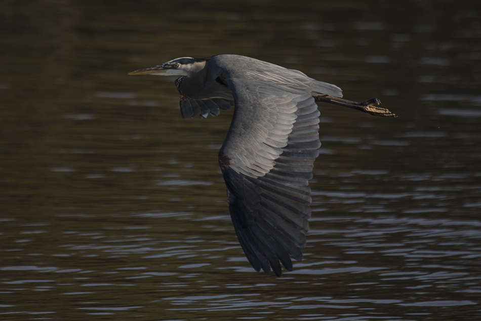 Moss Landing Great Blue Heron