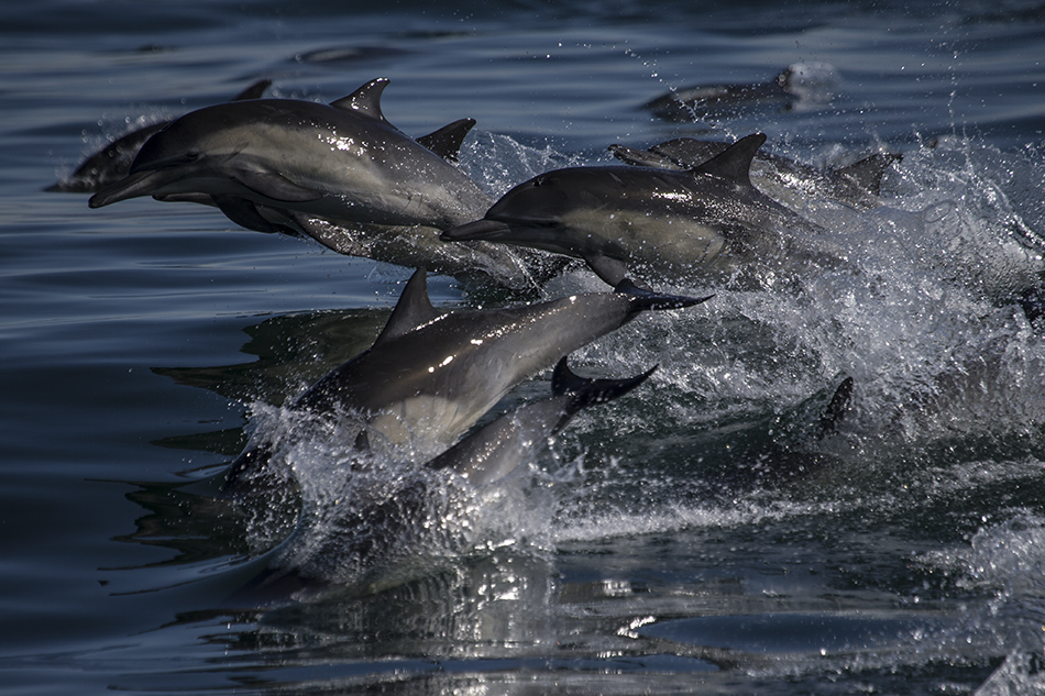 Monterey Bay Common dolphins