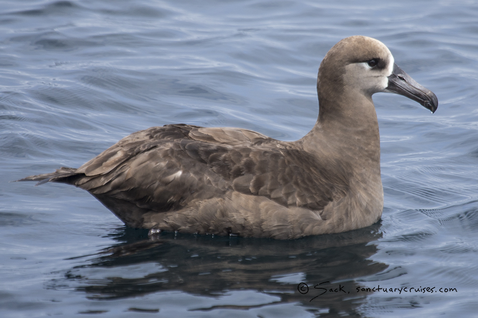 Monterey Bay Black-footed Albatross