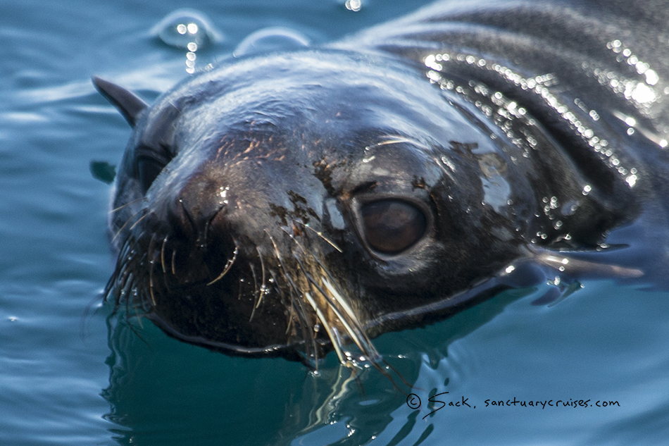 Monterey Bay Fur Seal