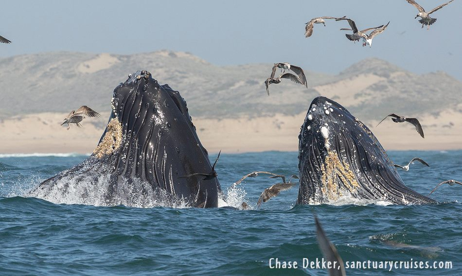 Monterey Bay Humpback Whale