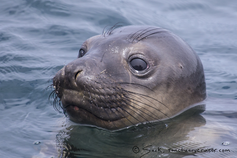 Monterey Bay Elephant Seal