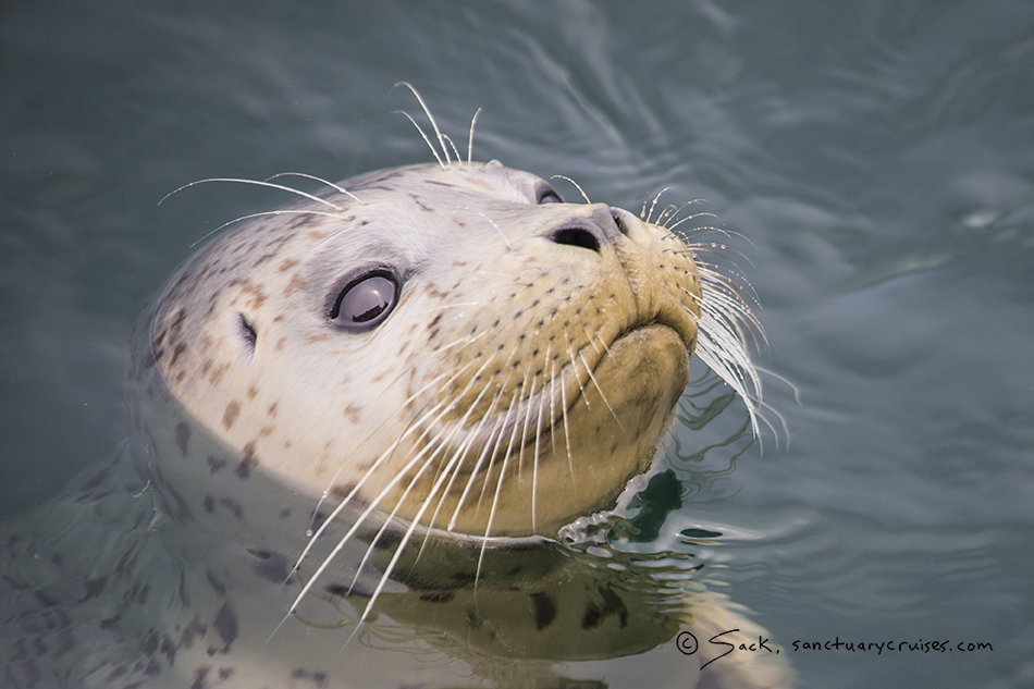 Monterey Bay Harbor Seal