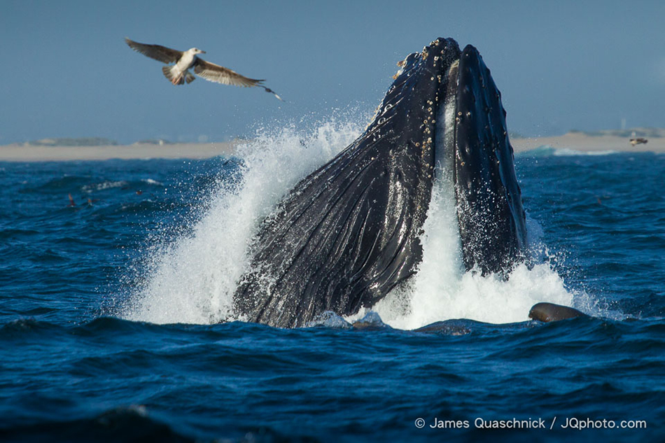 Monterey Bay Humpback Whales
