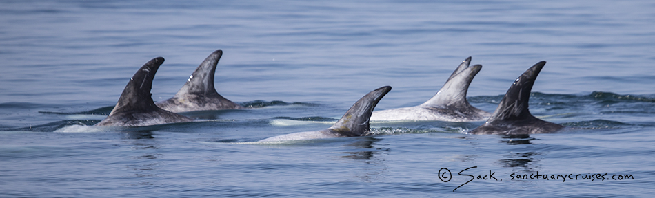 Monterey Bay Risso's Dolphins