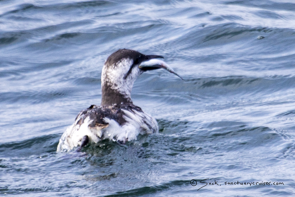 Monterey Bay Common Murre