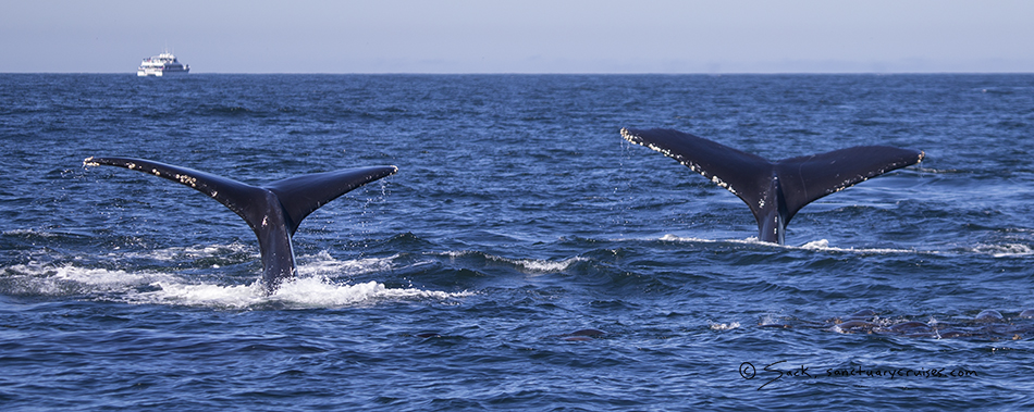 Monterey Bay Humpback Whale Tail flukes