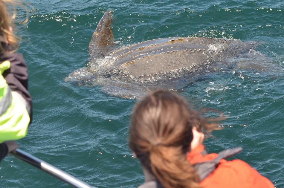 Leather-turtle, Monterey Bay.