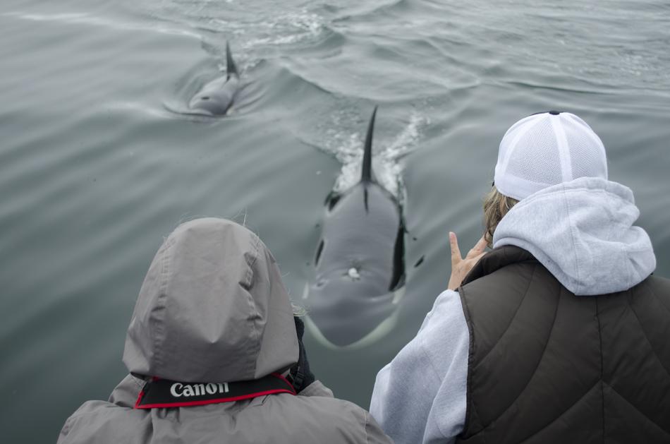 Monterey Bay Orcas