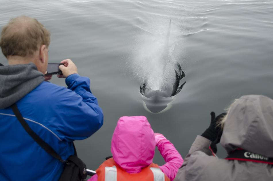 Monterey Bay Orca