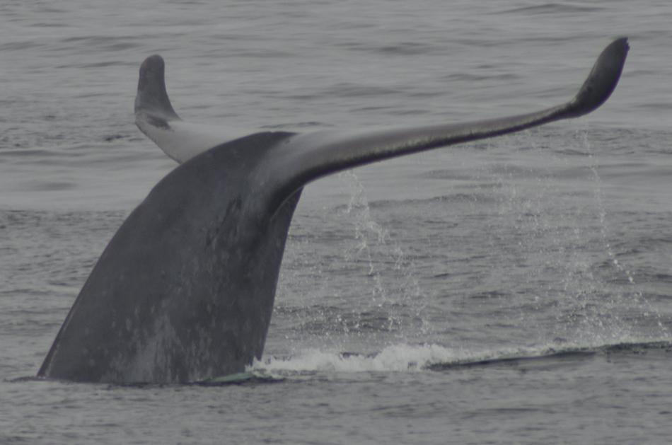 Delta-blue-whale